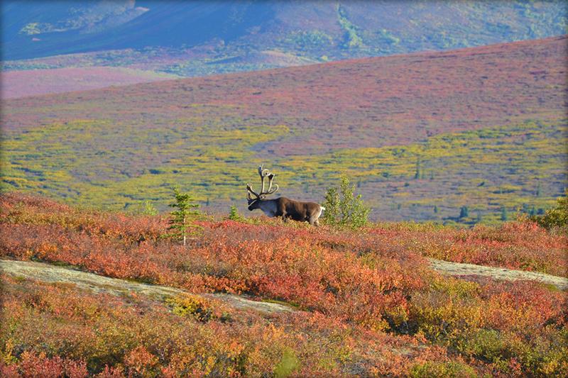 Caribou in Denali National Park - Autumn - Animal - Wildlife - Alaska