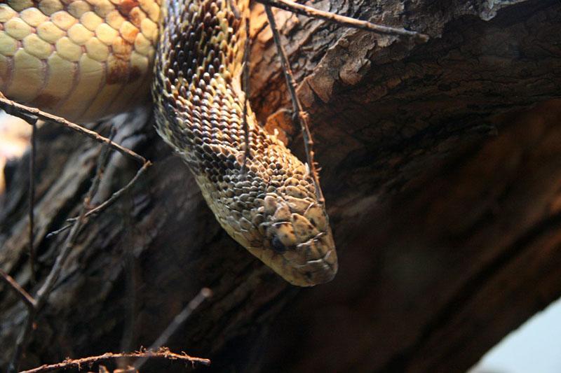 Lousiana Snake ... in Texas