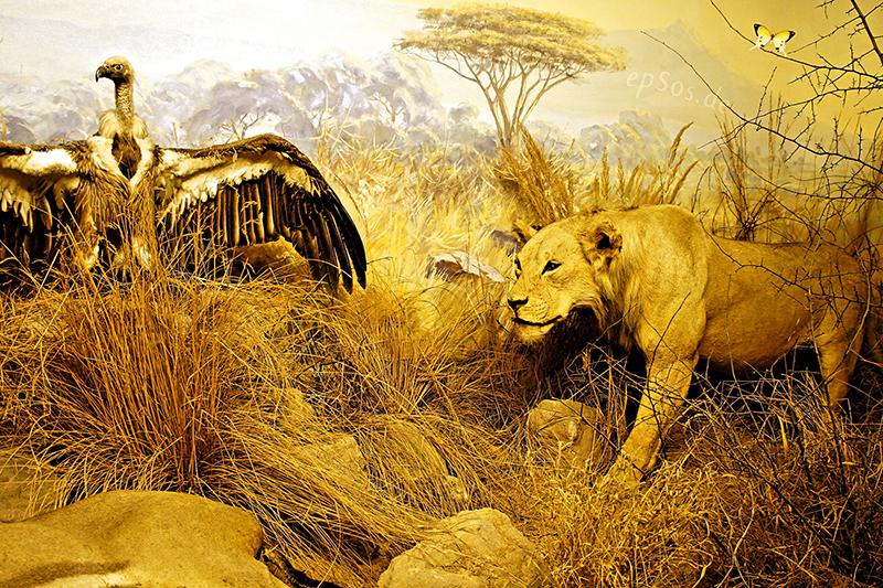 Mountain Lion in the African Safari Zoo