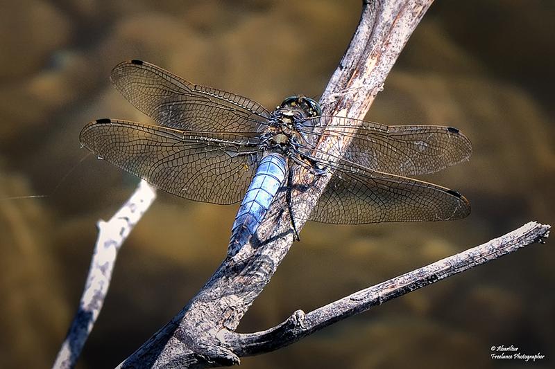 Orthetrum cancellatum I (Black-Tailed Skimmer - male)