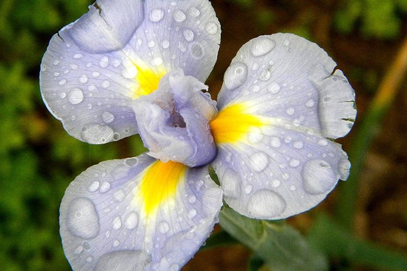 Tennessee 'Wild Violet-Wildflowers'