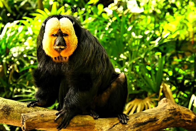 Yellow Face Monkey is Black and Beautiful Saki